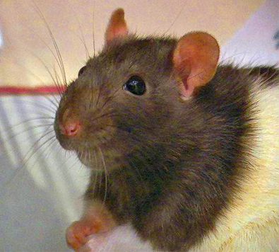 Год Земляной Крысы (мыши) 2008.