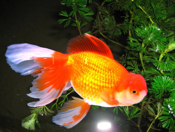 Золотая рыбка - картинка