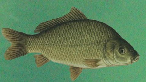 Речная рыба - карп